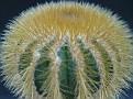 Uebelmannia eriocactoides