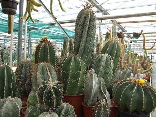 Nursery, part of Cacti collection