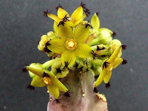 Desmidorchis penecillata